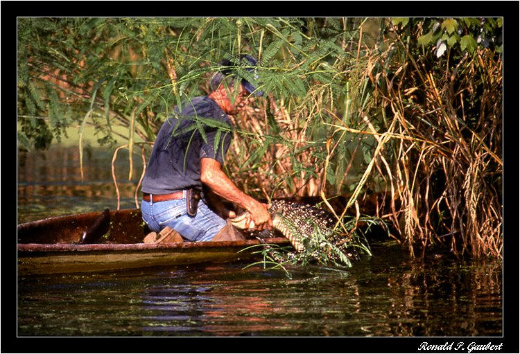 alligator trapping pulling catch into pirogue aut gaubert ronnie