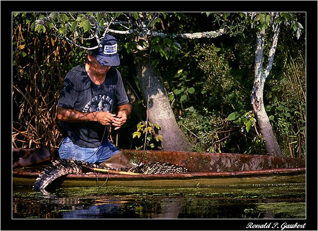 alligator trapping preparing hooked line author g gaubert ronnie