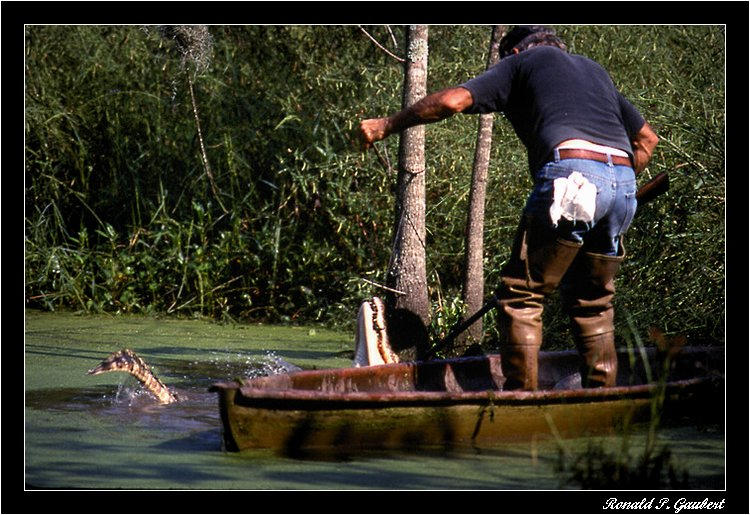 alligator trapping the kill author gaubert ronnie