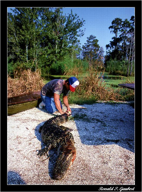 alligator trapping attaching louisiana issued perm gaubert ronnie