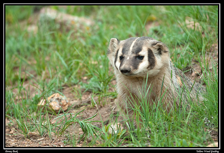 badger portrait by denny beck author gricoskie ja jared