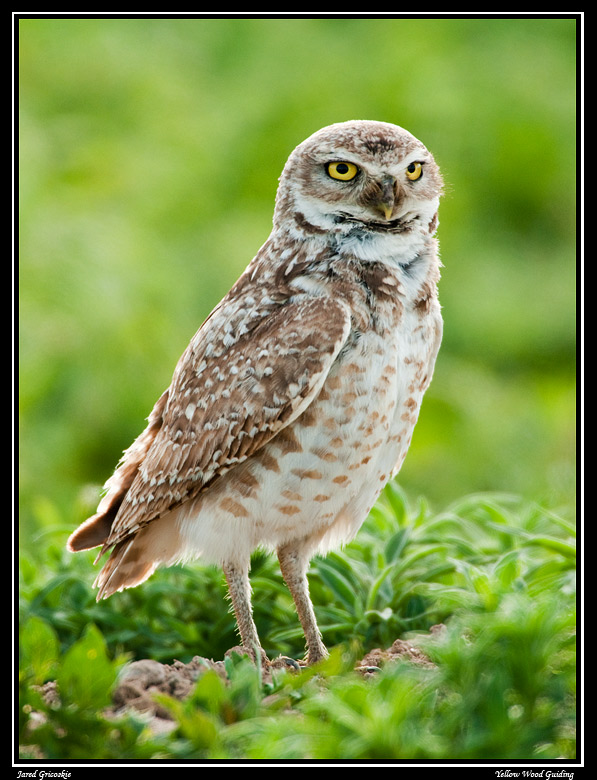 burrowing owl author gricoskie jared