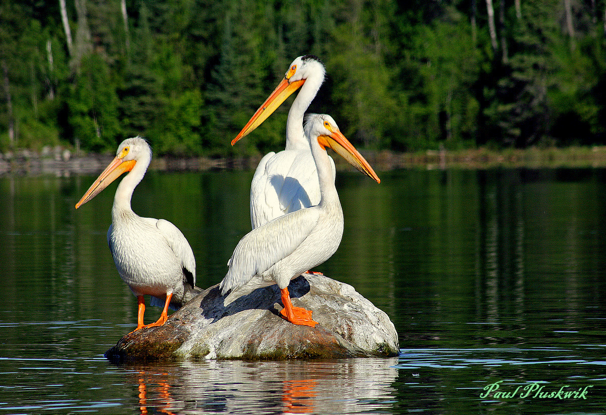 pelicans sharing a rock author pluskwik paul