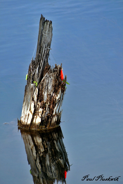 snagged old fishing line and lures caught on stump pluskwik paul