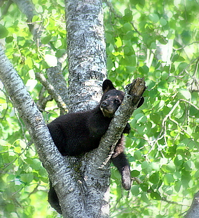 the good life a black bear resting in tree auth pluskwik paul