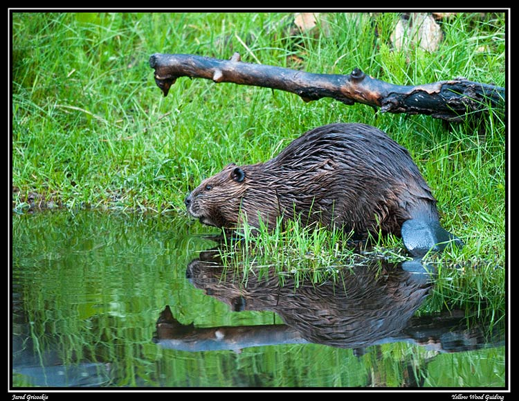 beaver out of water author gricoskie jared
