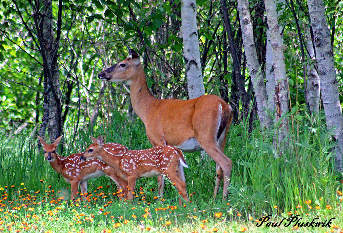 whitetail deer and fawns author pluskwik paul