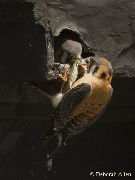 male american kestrel delivers an italian wall liz allen deborah