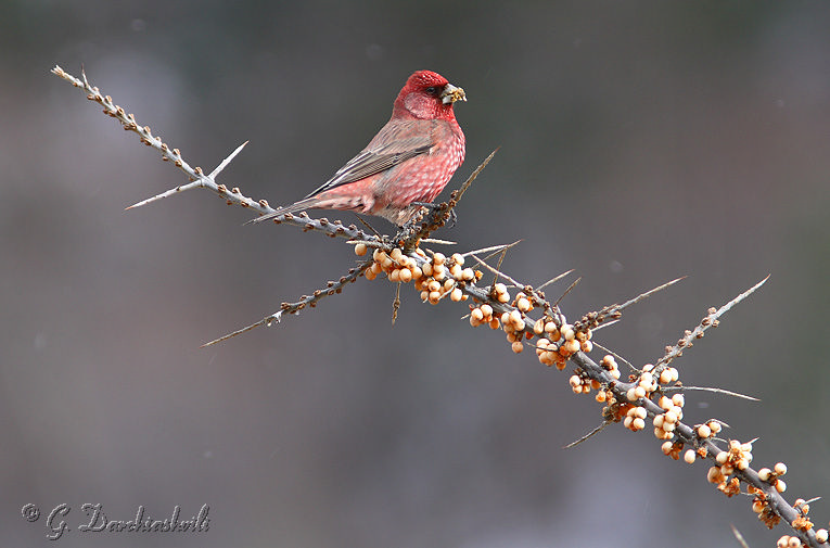 great rosefinch carpodacus rubicilla author darc darchiashvili giorgi