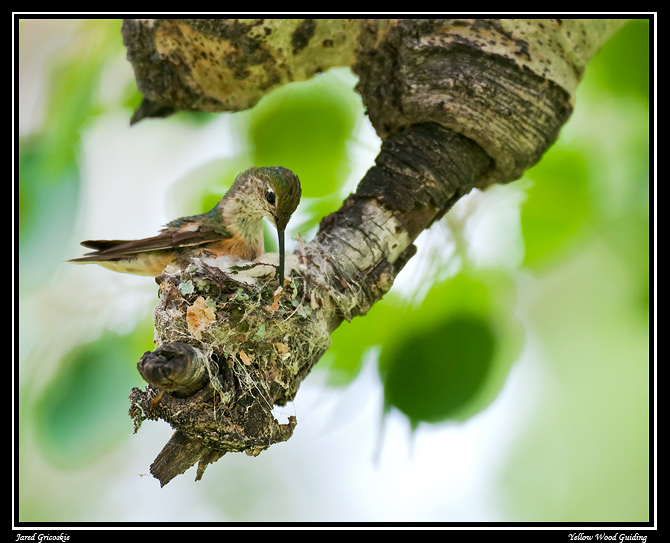broad tailed hummingbird female nest construction gricoskie jared