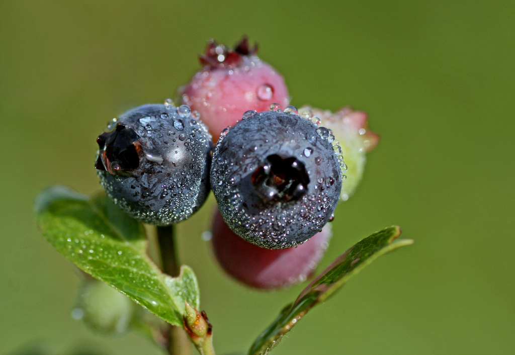 morning dew on the wild blueberries author pluskw pluskwik paul