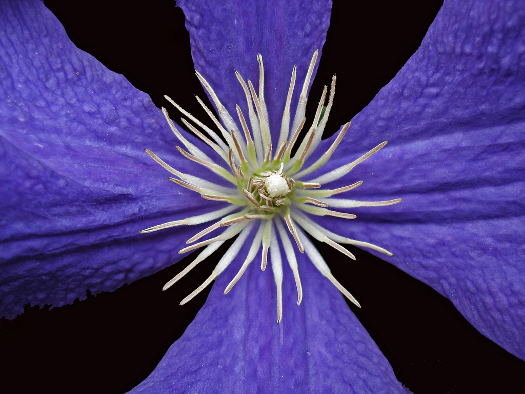 clematis in full bloom author pluskwik paul