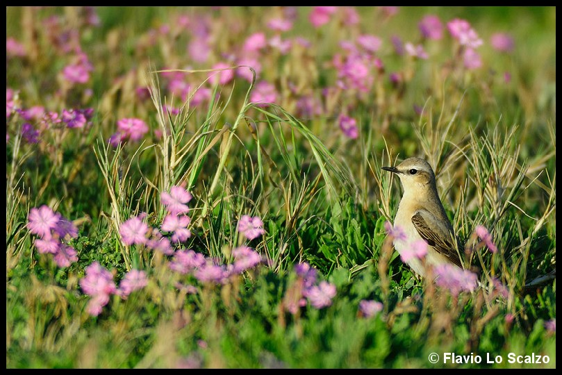 oenanthe northern wheatear author lo s scalzo flavio