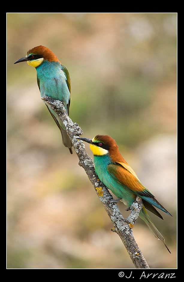 abejarucos european bee eater author arranz jes jess