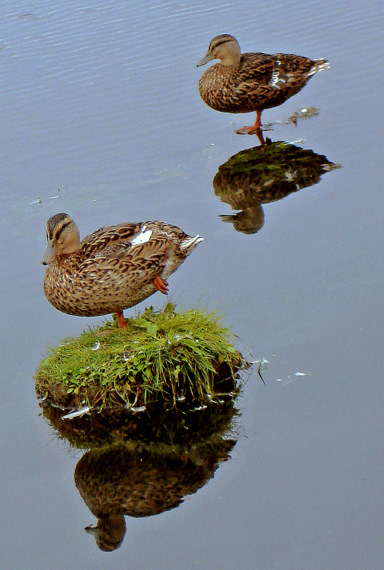 balancing act ducksstanding on one leg author pl pluskwik paul