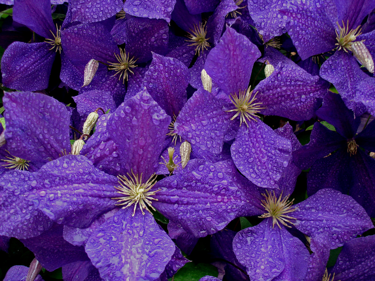 clematis after the rain author pluskwik paul