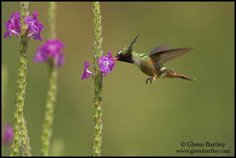white crested coquette author bartley glenn