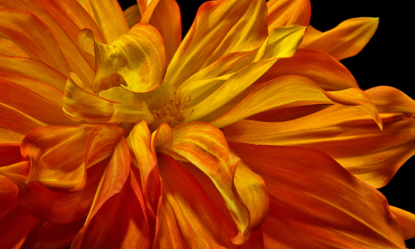 red and yellow dahlia author sava gregory ver verena