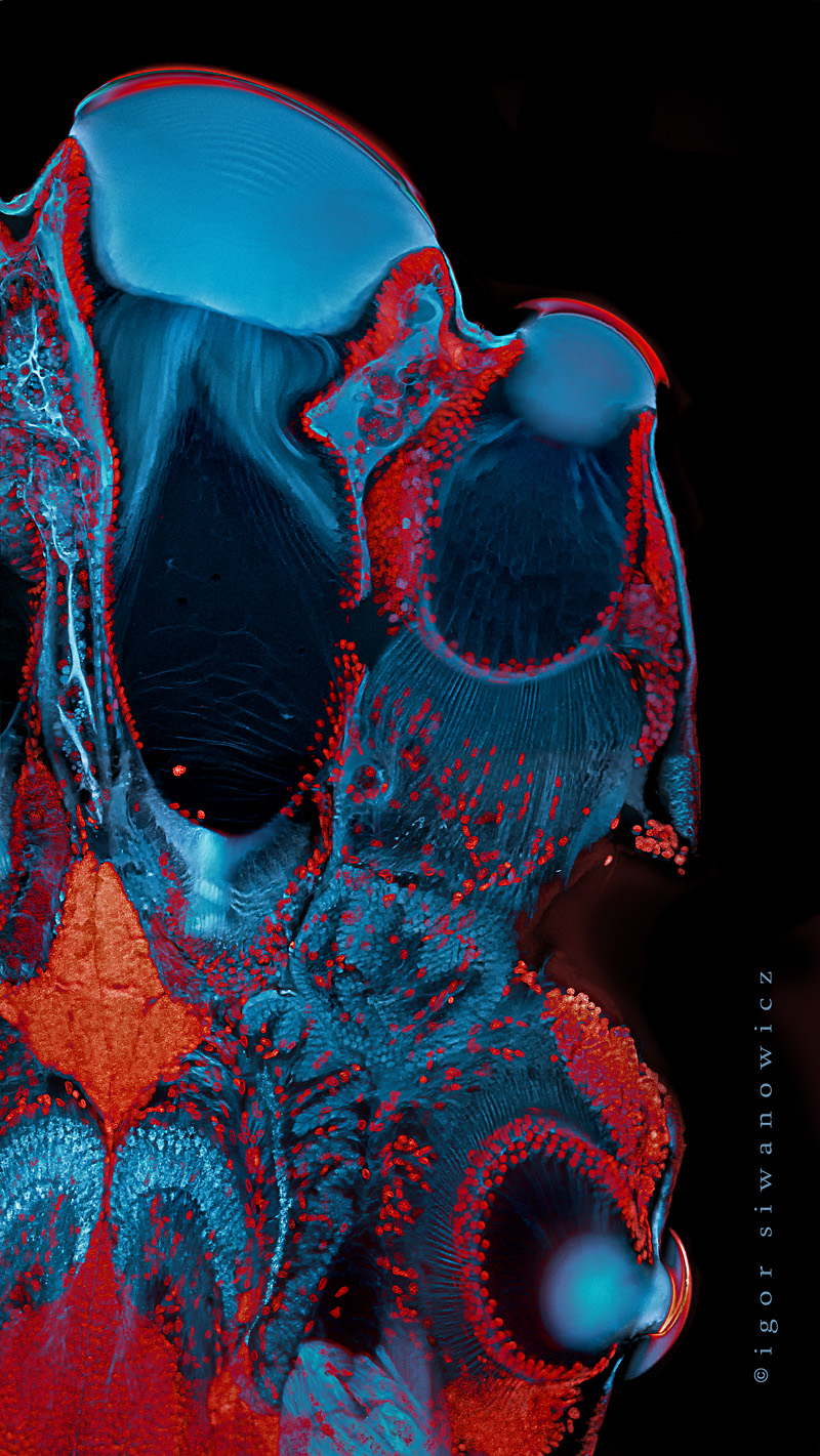 jumping spider s eyes confocal scanning laser micr siwanowicz igor
