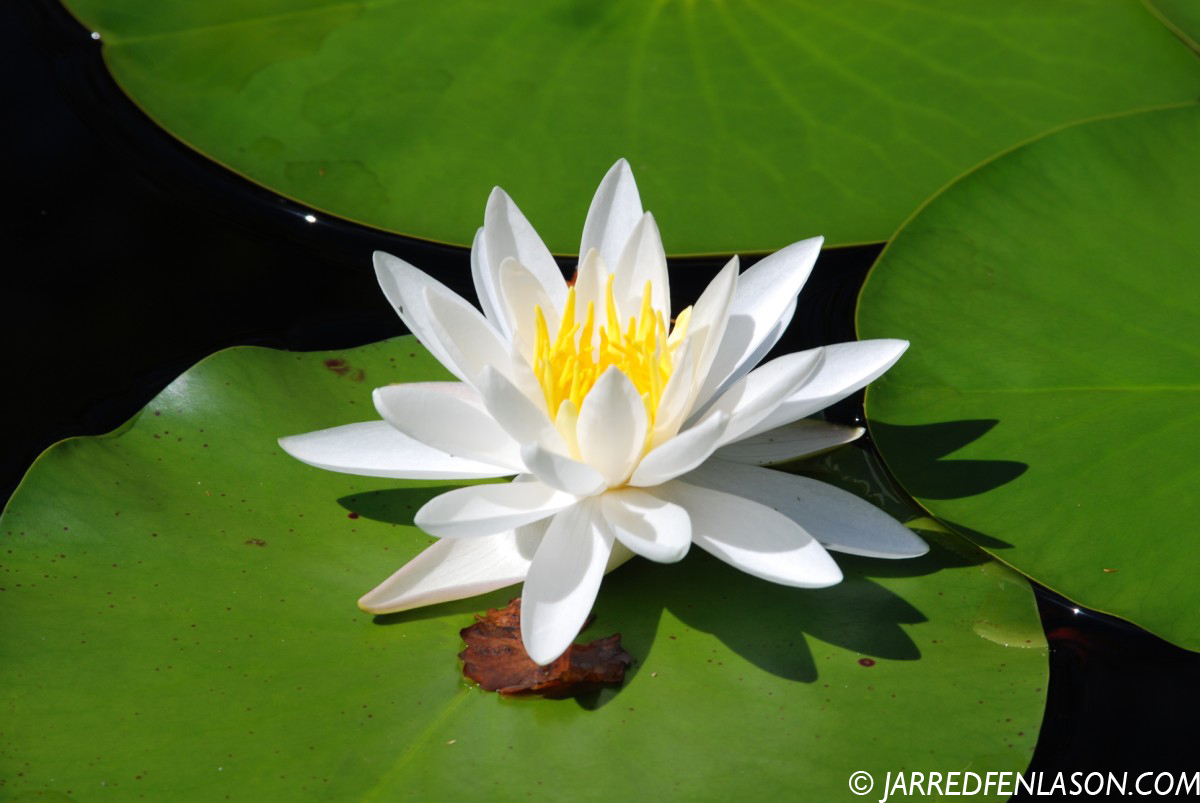 Flower On The Lily Pad Photo