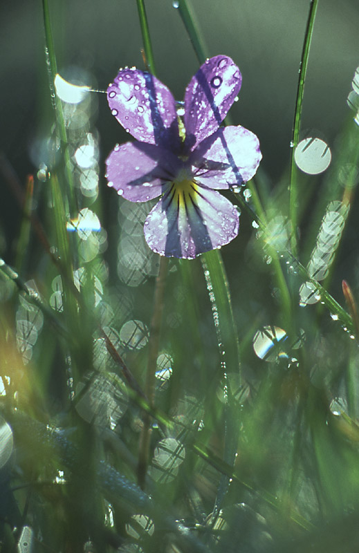 reflections of a violet author nordborg nicklas