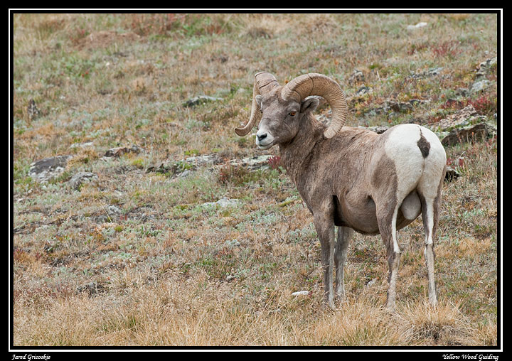 big horn on the fall tundra author gricoskie jare jared