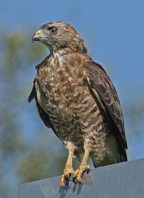 hawk on a road sign watching the cars go by auth pluskwik paul