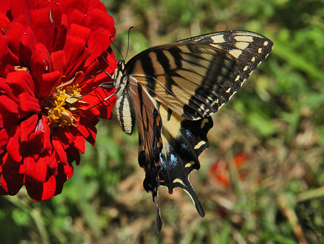 swallowtail and zinnia author sava gregory verena