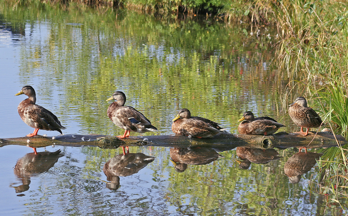 early morning mallards on a log author pluskwik p paul
