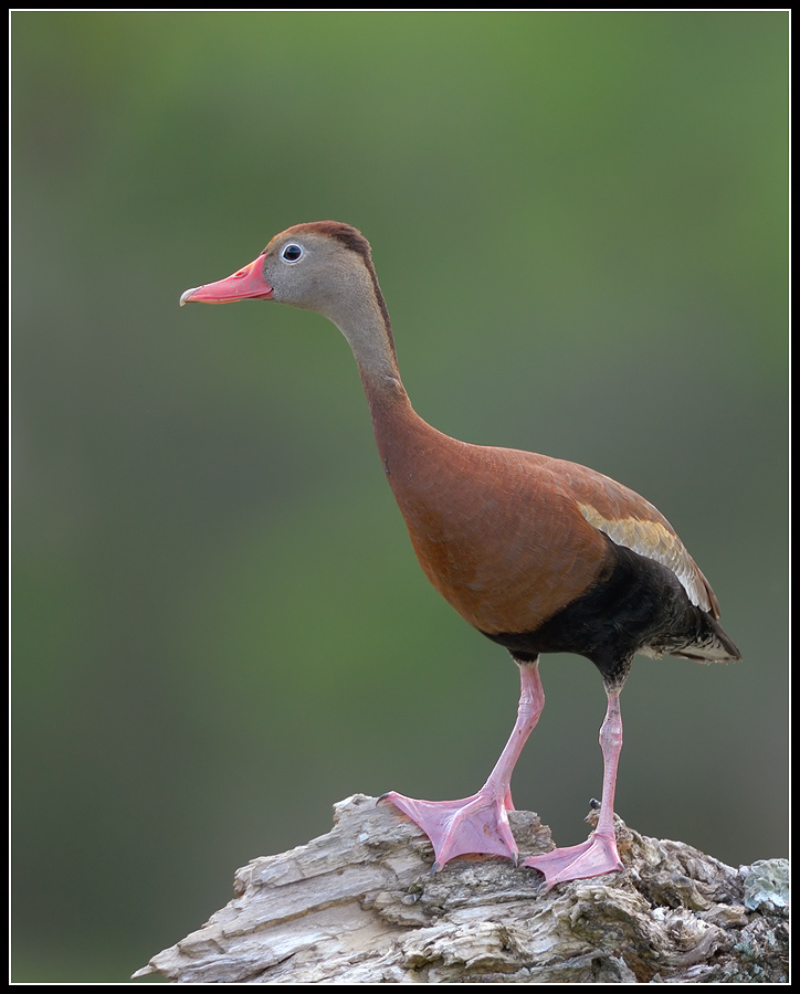 black bellied whistling duck author gaubert ronni ronnie