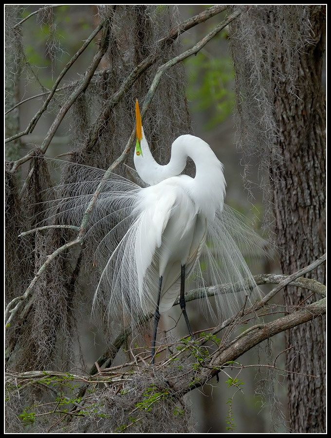 great egret display this type of occurs ea gaubert ronnie