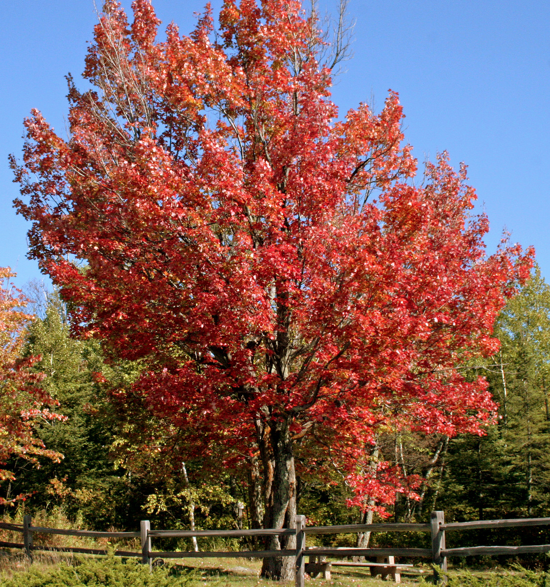 maple tree with red fall colors author pluskwik p paul