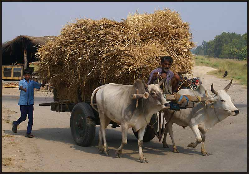 hay hauling in nepal author downs jim