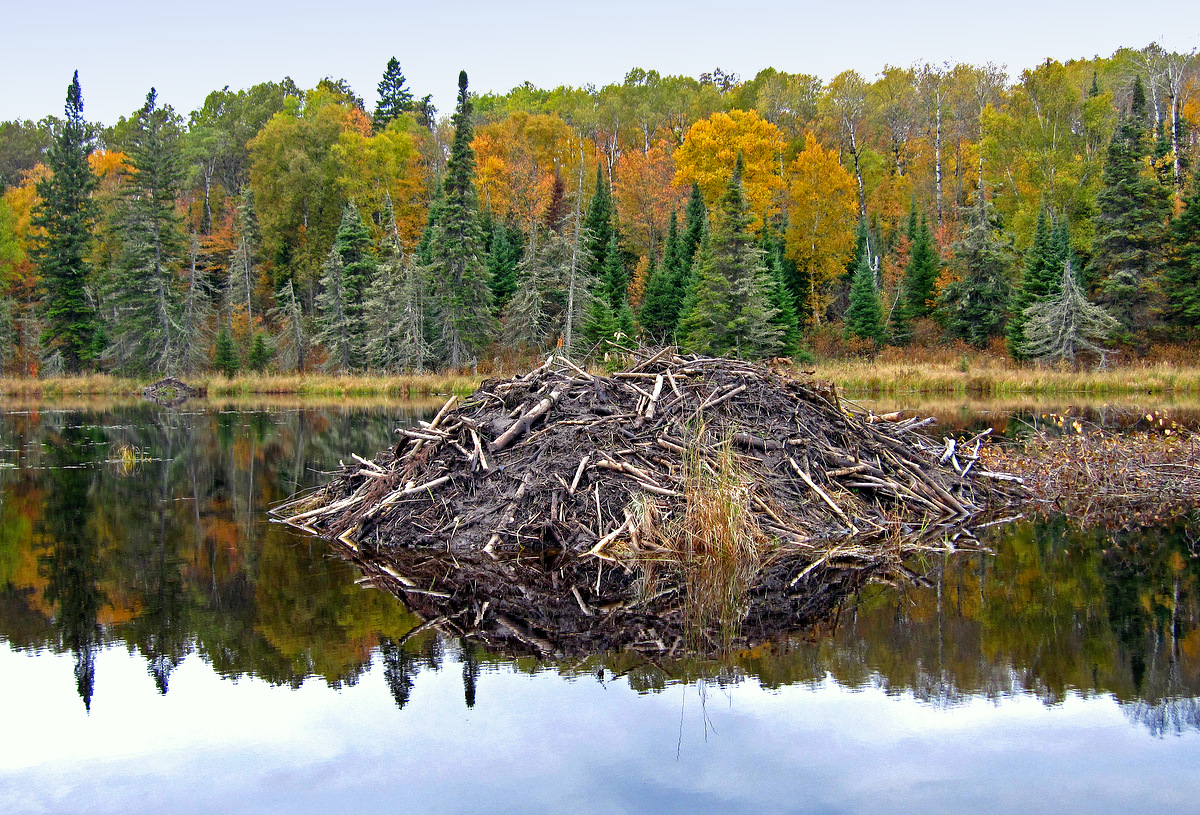 beaver lodge and fall reflections in the pond aut pluskwik paul