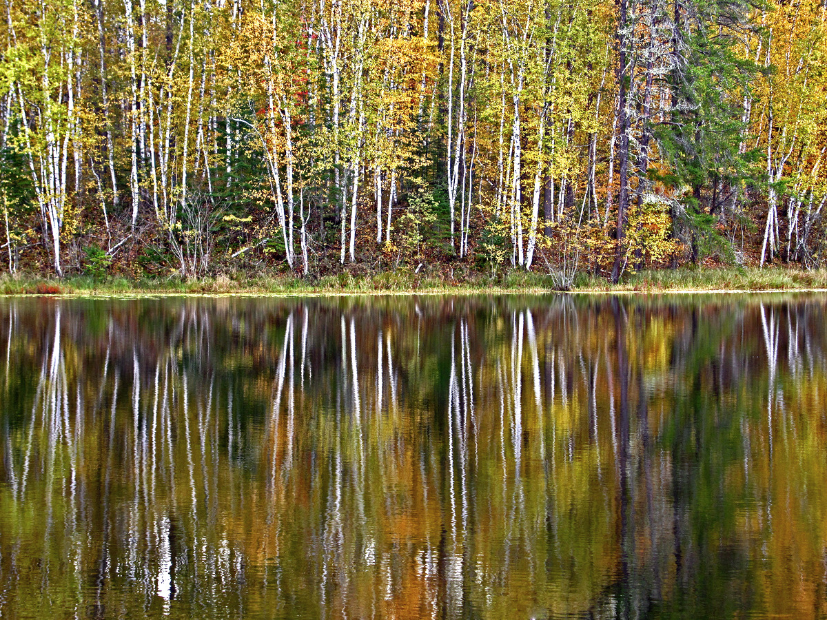 birch trees reflecting there golden fall colors a pluskwik paul