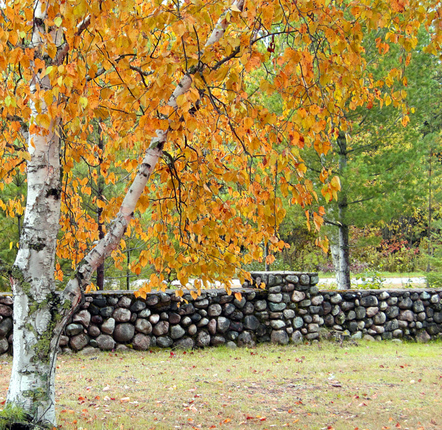 birch trees golden fall color and old stone fence pluskwik paul