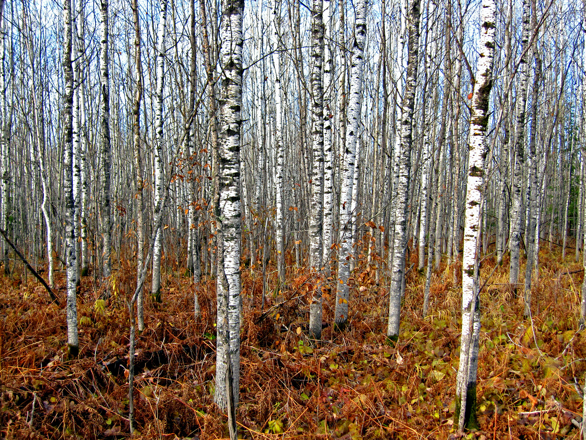 aspen forest all the leaves have fallen author p pluskwik paul